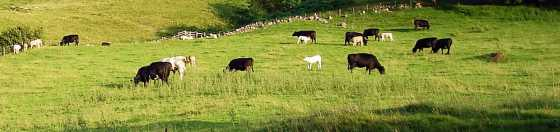 cows-on-genoch-inner-hill_