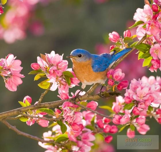 adorable-bluebird-in-blooming-pink-flowers