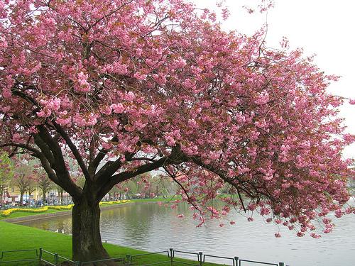 Cherry-Blossom-Tree-trees-19838736-500-375