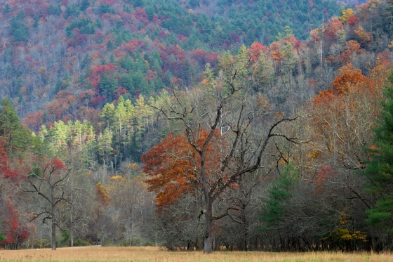 Oak trees on the Cataloochee valley floor contrasted with the late fall color on the surrounding hillside